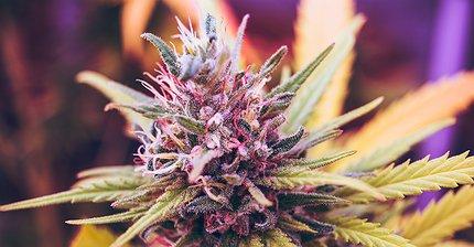 Монополия на миллиард: Как захватить рынок марихуаны