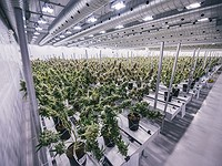 Canopy Groth, la più grande società di marijuana al mondo