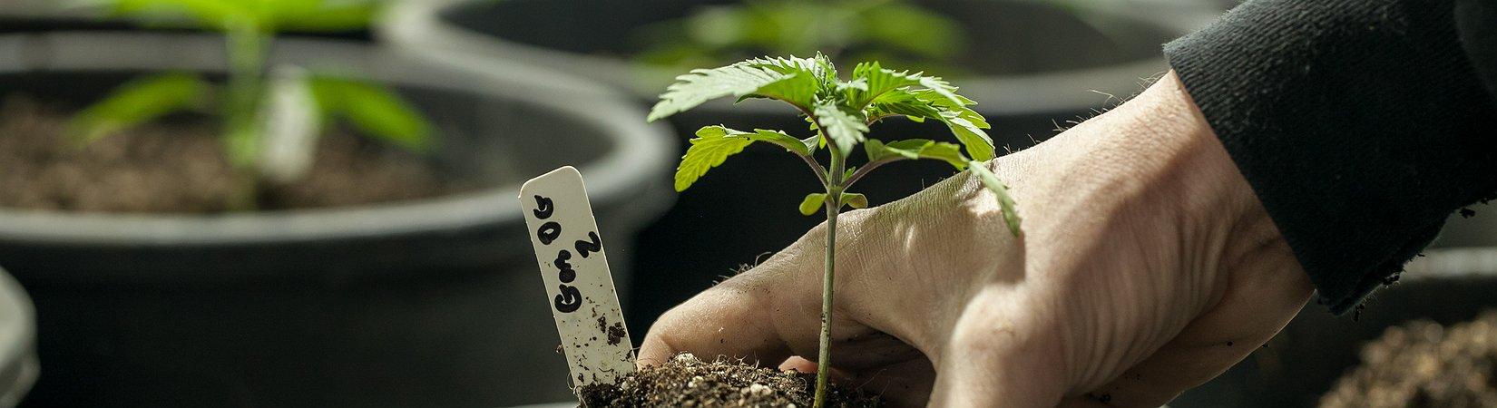 Il Canada ha lanciato il primo ETF della storia specializzato in marijuana